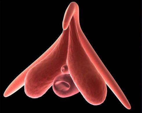 clitoris-arte